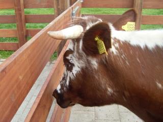 hoogzwangere koe