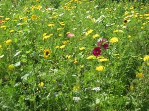 mooie veldbloemen in Houten